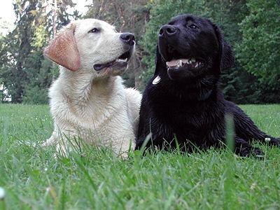 labrador-adultyellowandblack001