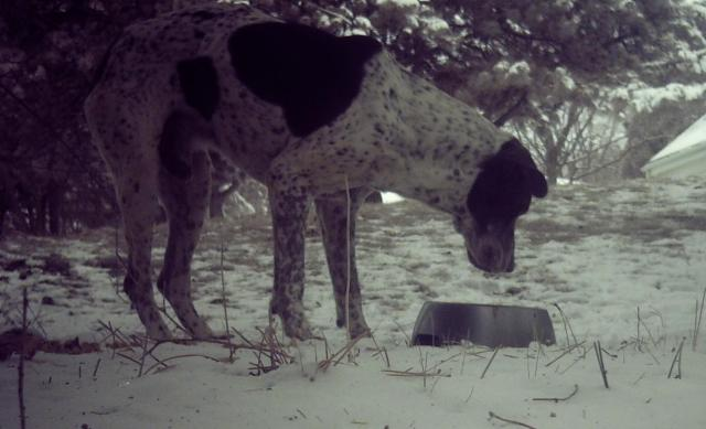 A shy lost dog that began using a feeding station.  This picture was taken by a trail camera that was aimed at the food bowl.